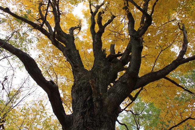 mighty maple