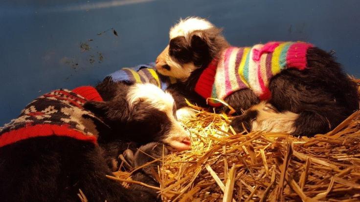 Finn lambs with sweaters