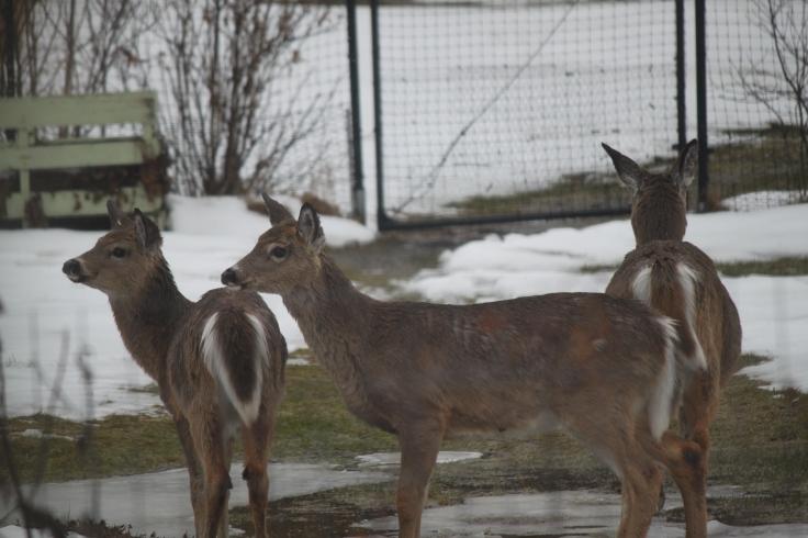 deer_April 17 2018.jpg